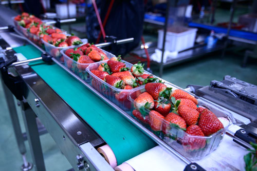 Berries on Conveyor